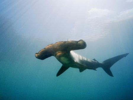animals_under_water_hammerhead_shark_005520__0.jpg